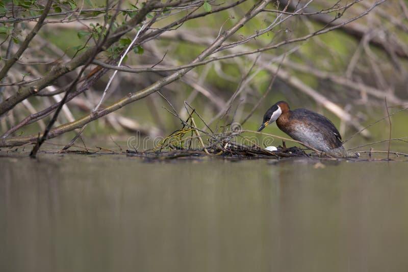 上升在它的浮动巢的一成人red-necked格里布在城市池塘在首都柏林德国 库存照片
