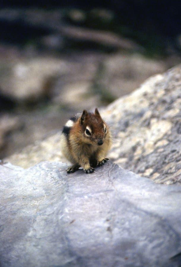上升在岩石的鬼祟花栗鼠 免版税库存图片