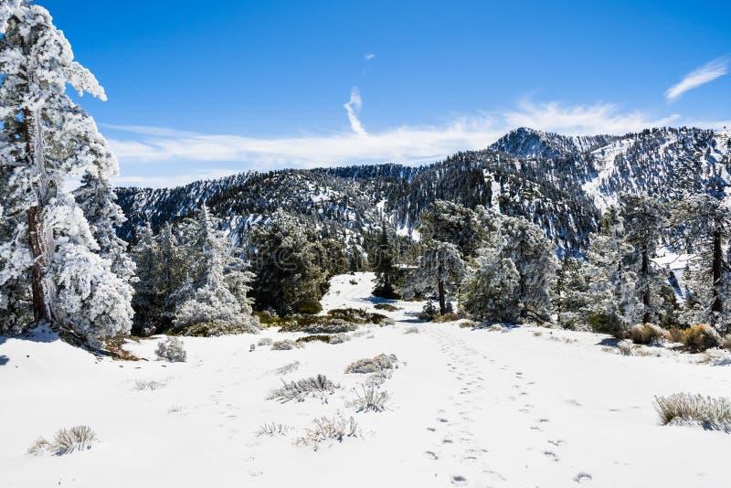 上升在报道树和地面,登上圣安东尼奥(Mt鲍尔迪),南部的晴朗的冬日,冻雪的滑雪倾斜 免版税库存照片