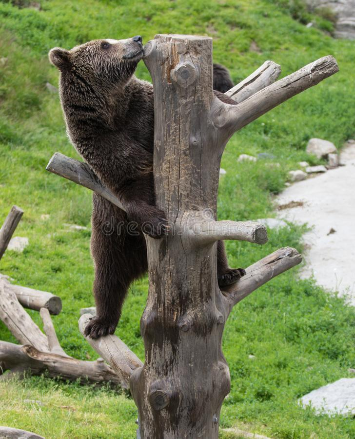 上升在树干的巨大的成人棕熊特写镜头画象  熊属类arctos beringianus 堪察加熊 免版税库存图片