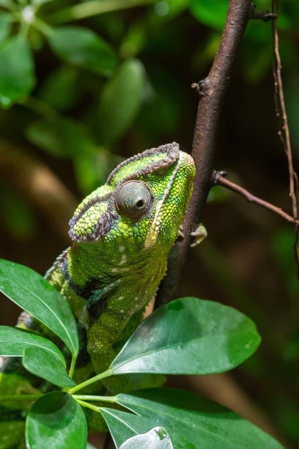 上升在树枝的绿色爬行动物通过叶子 库存图片