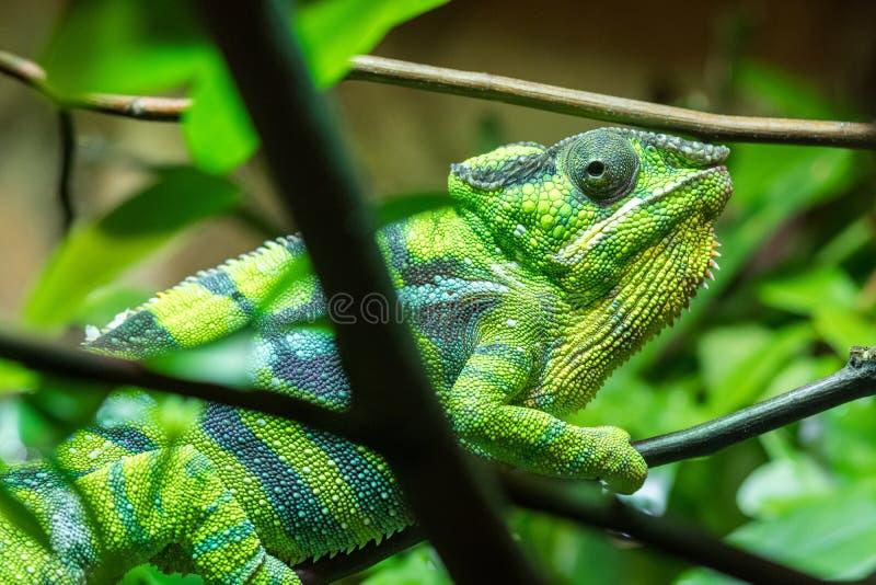 上升在树枝的绿色爬行动物通过叶子 免版税库存图片