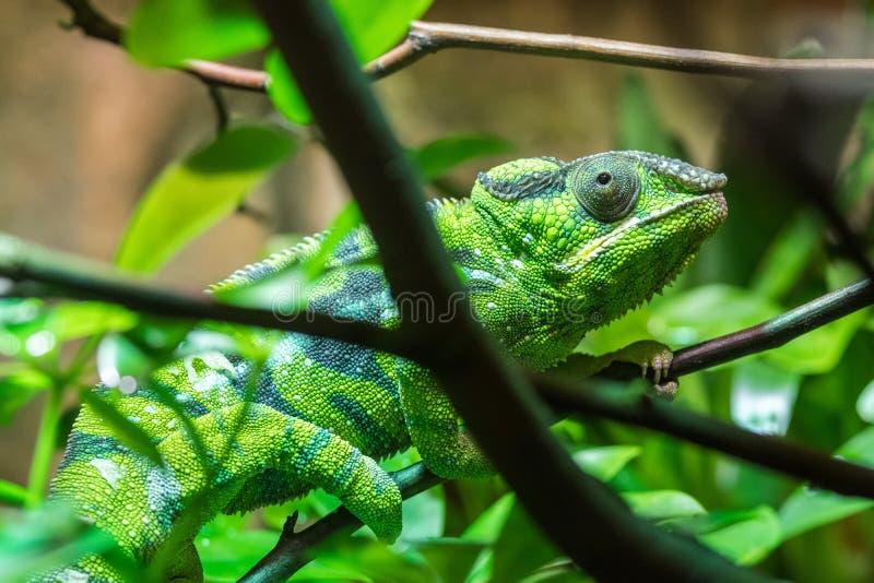上升在树枝的绿色爬行动物通过叶子 库存照片