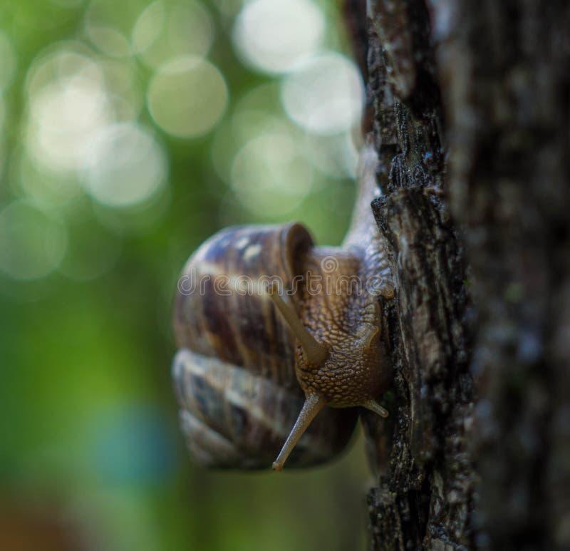上升在树的大蜗牛 免版税库存图片