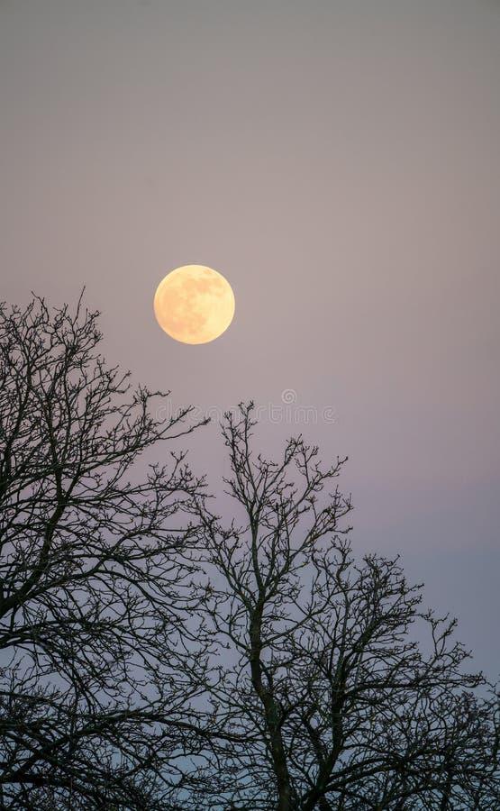 上升在树的满月在黄昏 库存照片