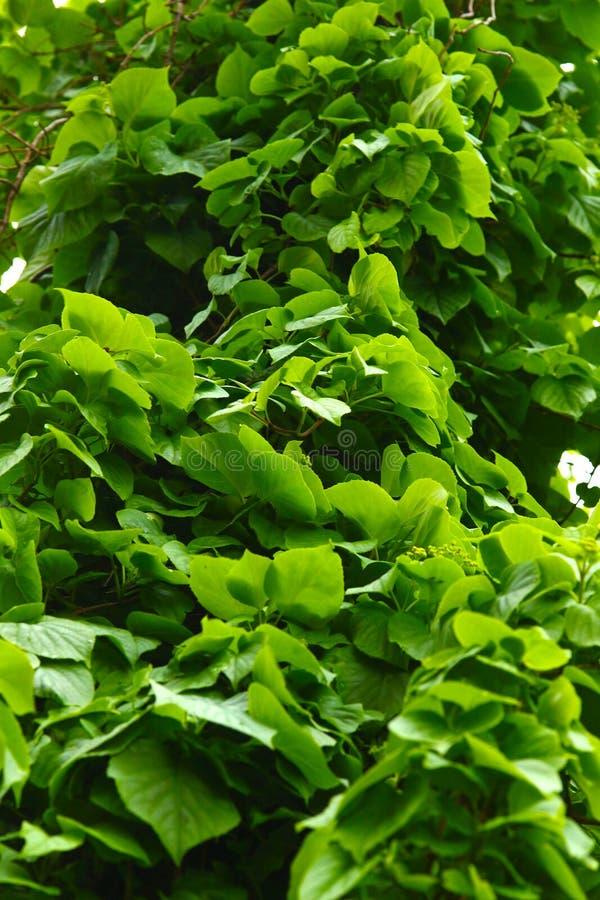 上升在树的绿色常春藤 免版税库存图片