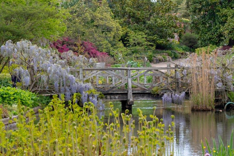 上升在桥梁的紫色开花的紫藤在RHS Wisley,皇家园艺学会的旗舰庭院,萨里,英国 免版税库存图片