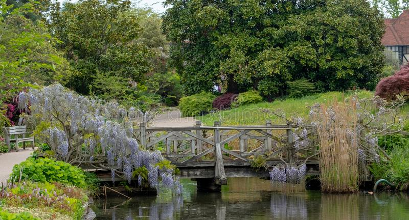 上升在桥梁的紫色开花的紫藤在RHS Wisley,皇家园艺学会的旗舰庭院,萨里,英国 图库摄影