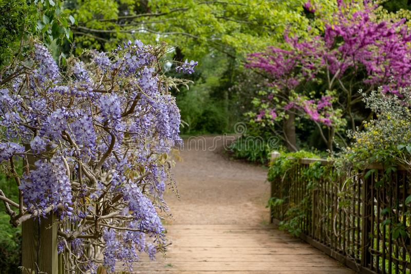 上升在桥梁的紫色开花的紫藤在RHS Wisley,皇家园艺学会的旗舰庭院,萨里,英国 免版税图库摄影