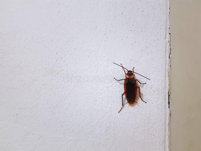 上升在白色墙壁上的布朗蟑螂 库存照片