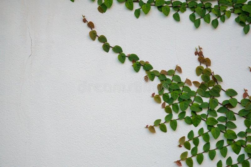 上升在白色墙壁上的绿色常春藤植物 免版税库存图片