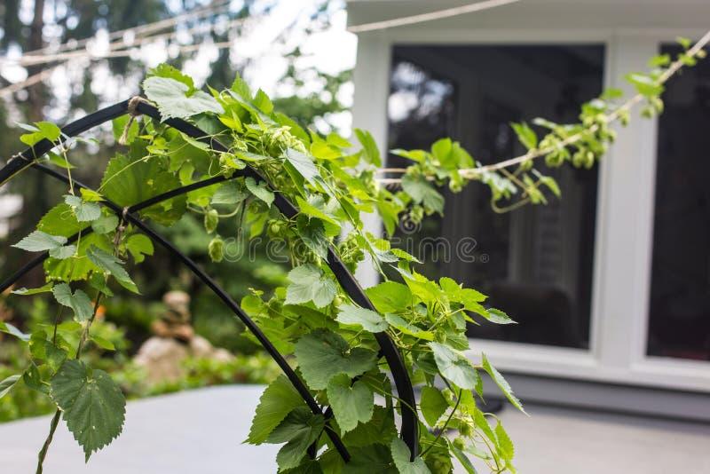 上升在绳索的蛇麻草植物在房子旁边 库存图片