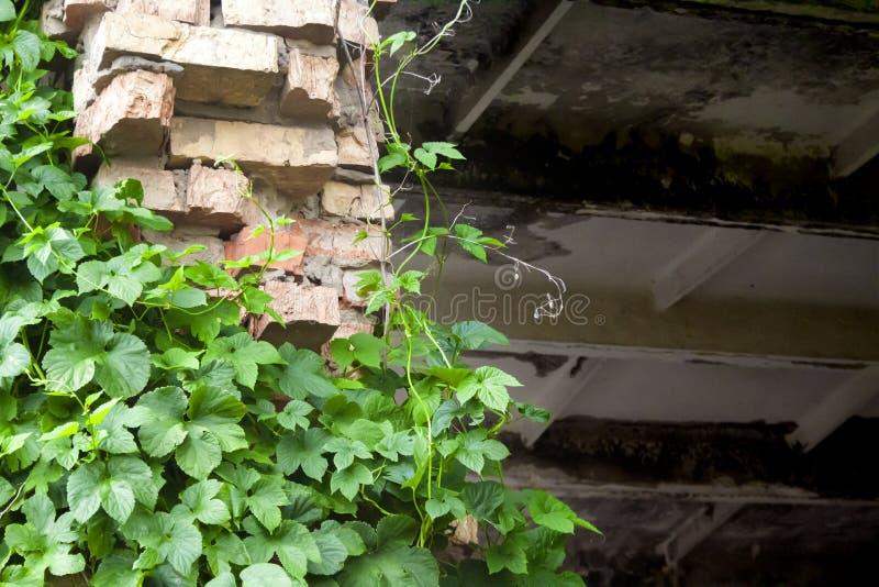 上升在被放弃的工厂的砖墙片段的绿色蛇麻草植物 免版税库存图片