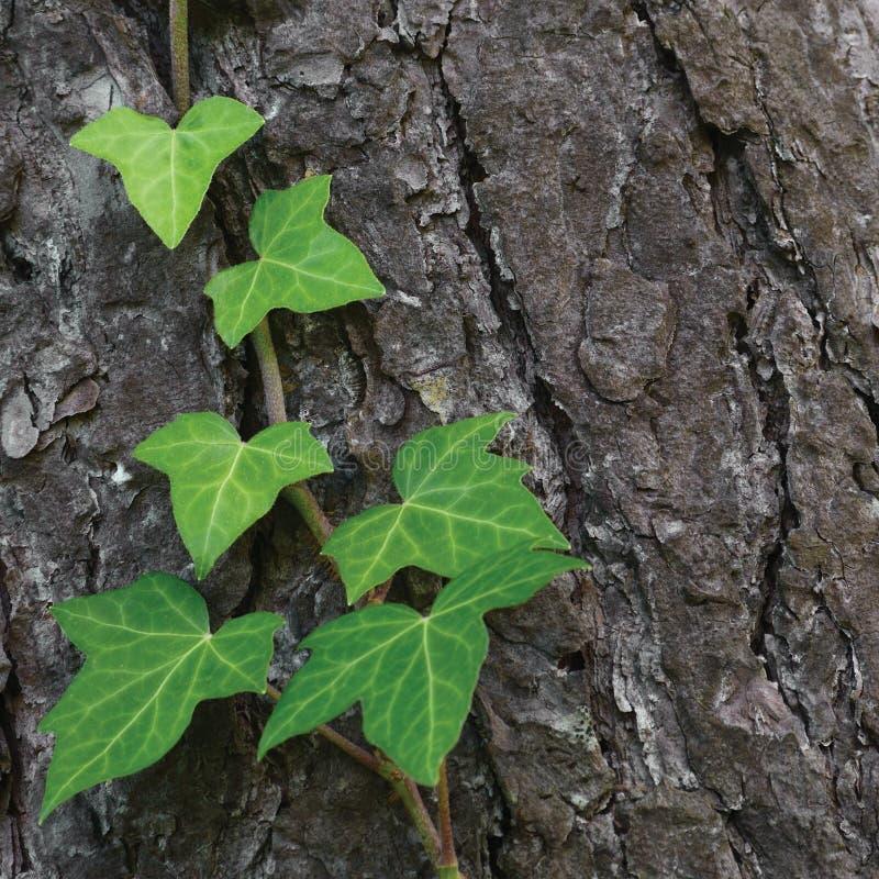 上升的共同的波儿地克的常春藤词根,常春藤属螺旋L 变种 baltica,新鲜的新的年轻常青爬行物留下详细的杉树纹理 免版税库存照片