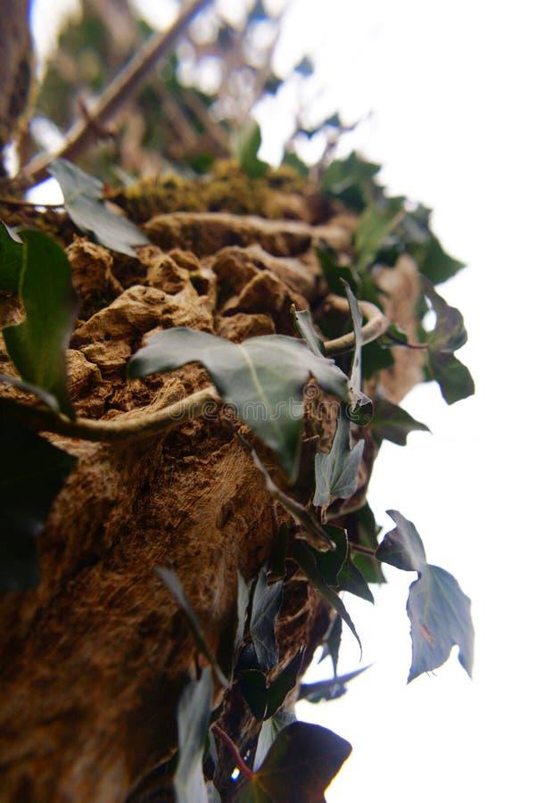 上升的共同的波儿地克的常春藤 图库摄影