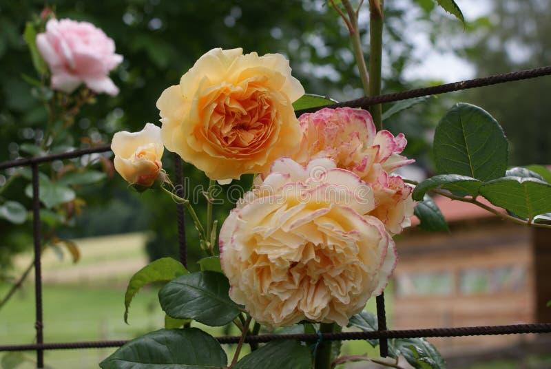 """上升的玫瑰色""""Crown Margaretaa€公主在一片可爱的树荫下杏子橙色 免版税库存照片"""