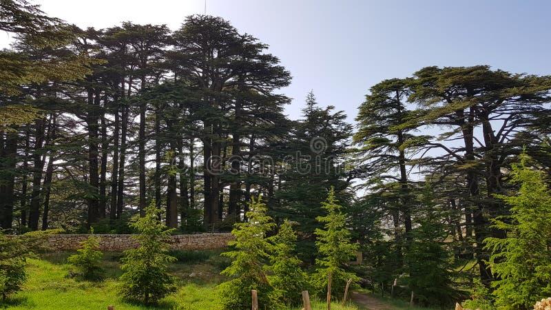 上帝雪松位于Bsharri,是其中一黎巴嫩雪松的广泛的森林的最后痕迹曾经兴旺 库存照片