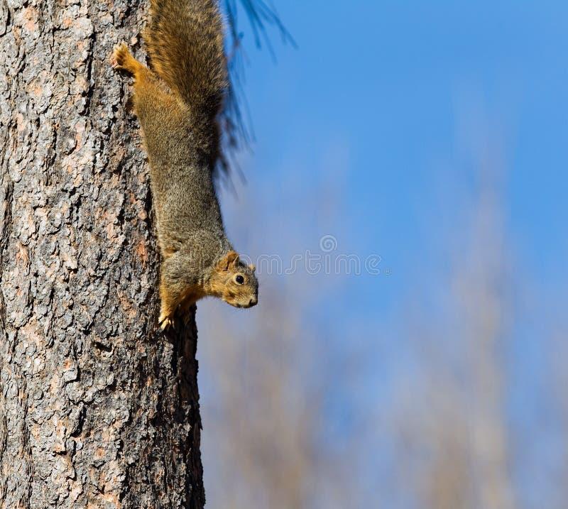 上树灰鼠松鼠科动物walikng头首先在松树树干下 免版税库存图片
