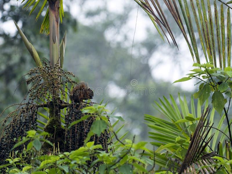 上树灰鼠,寻找食物在一个有雾的森林里, Mindo,厄瓜多尔 库存照片