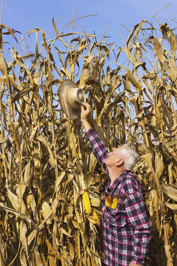 上流的帽子,玉米今年是非常高的 库存图片