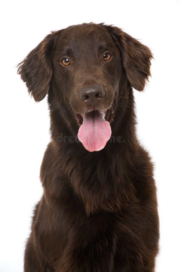 上漆的平面的猎犬 图库摄影