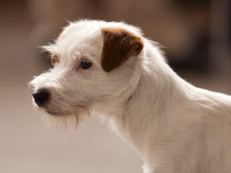 上漆的插孔粗砺的罗素狗 库存图片