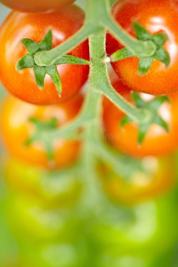 上色蕃茄 免版税库存照片