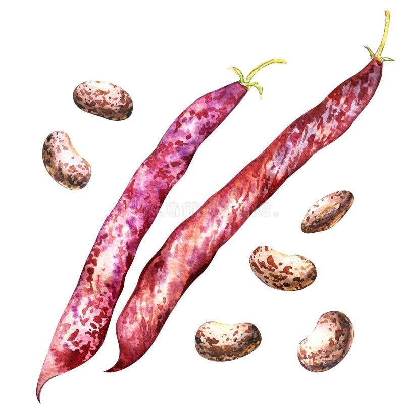 上色被隔绝的borlotti豆和荚,在白色的水彩例证 皇族释放例证