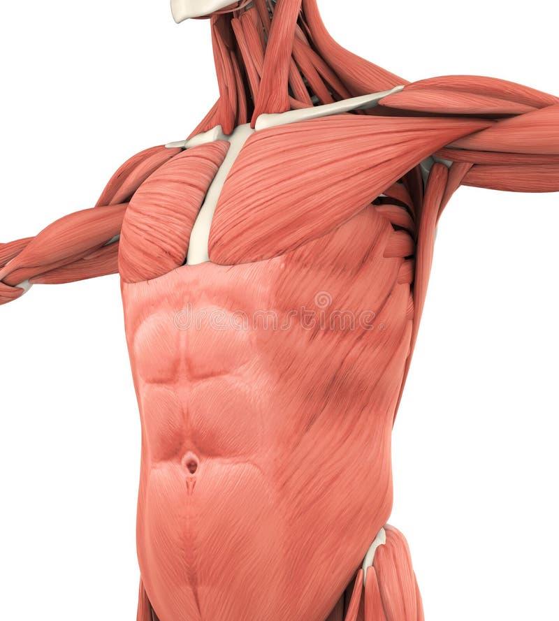 上部先前肌肉解剖学 库存例证