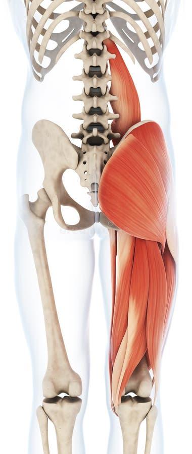 上部腿肌组织 向量例证