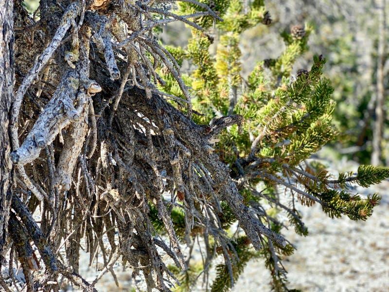 上部Bristlecone圈足迹,Mt 查尔斯顿,内华达 免版税库存图片
