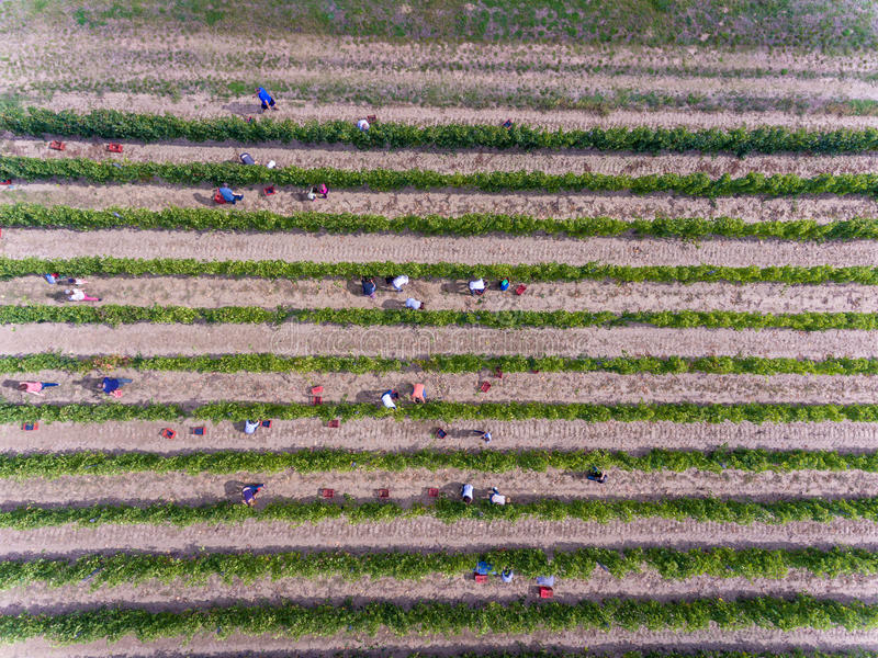 从上面收获在葡萄园,鸟瞰图里的工作者 免版税图库摄影