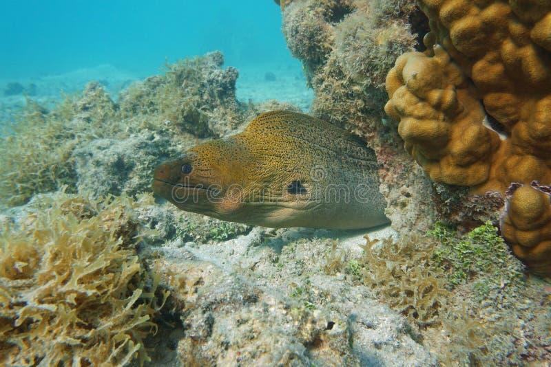 水下一巨型海鳝Gymnothorax的javanicus 库存图片