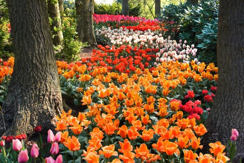 下五颜六色的路径结构树郁金香 库存照片