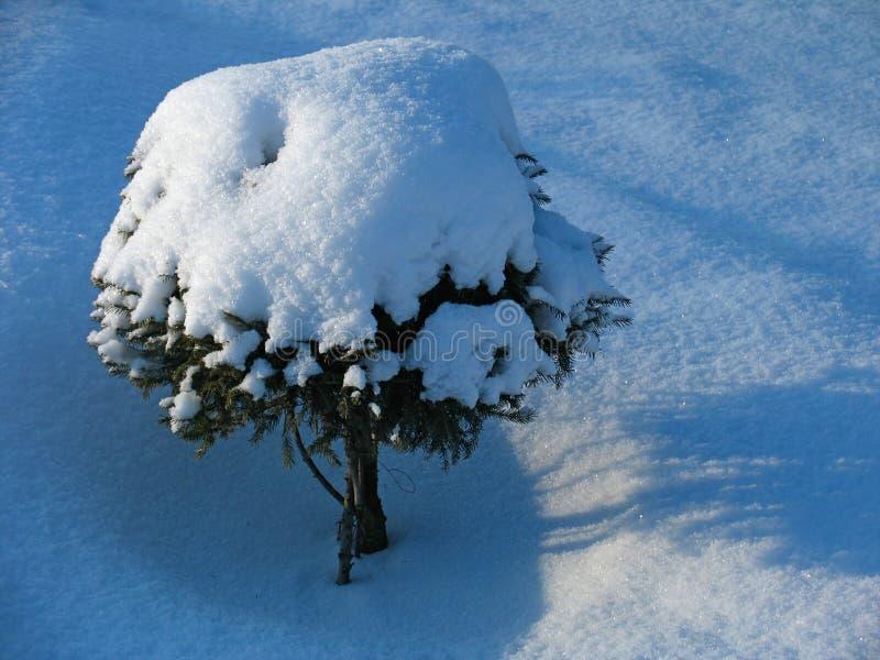 下冷杉装饰雪结构树 库存图片