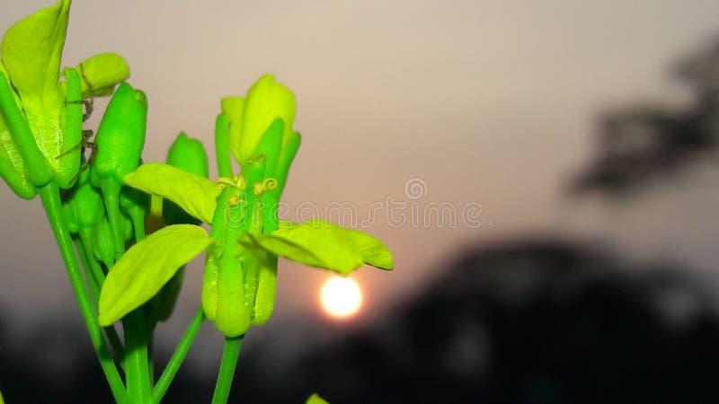 下午太阳用向日葵 免版税图库摄影