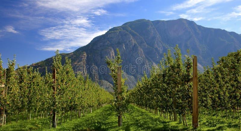 下午太阳的苹果树 库存图片