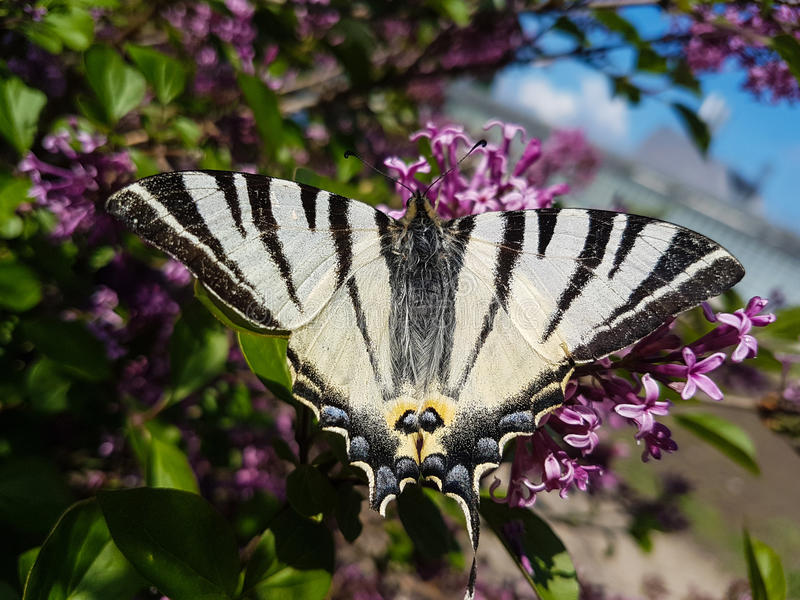 下午自然后蝶粉花的草原 库存图片
