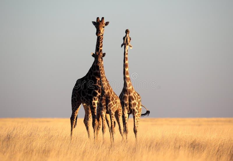 下午长颈鹿延迟轻的三重奏 免版税库存照片