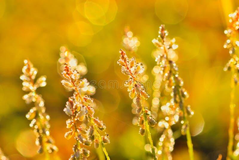 下午露水自然后草的草原 免版税库存照片
