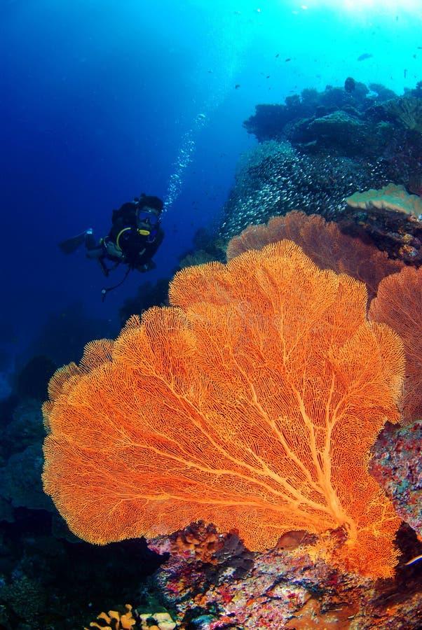 水下大seafan和潜水者在蓝色海 库存图片