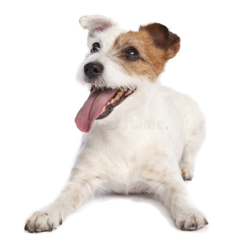 下来插孔位于的罗素狗 免版税库存照片