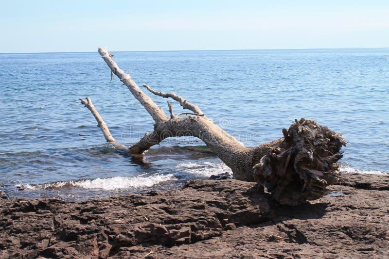 下来树在苏必利尔湖 免版税库存图片