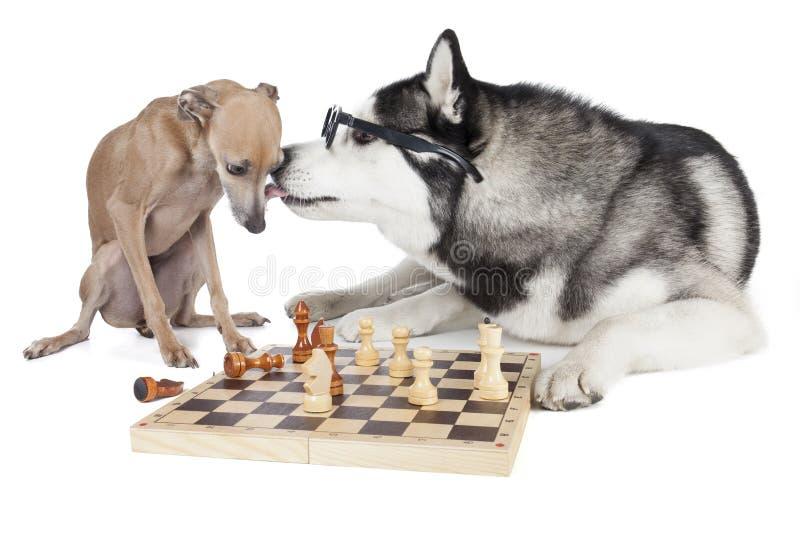 下棋的两条狗(意大利灵狮和西伯利亚爱斯基摩人) 免版税库存照片