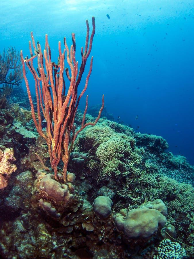 水下的珊瑚礁Amphimedon compressa (笔直绳索海绵r 免版税库存照片