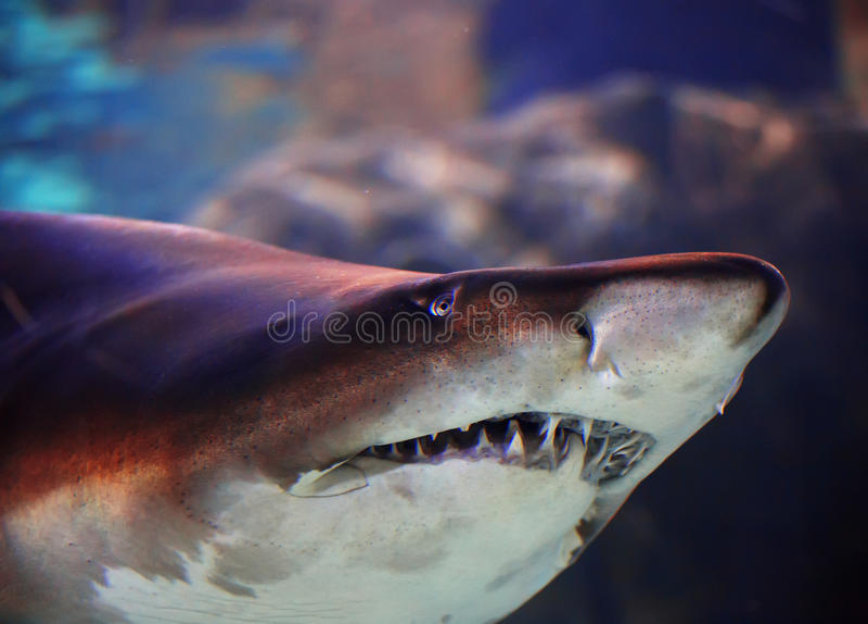 水下的观点的在伊斯坦布尔水族馆的一个伟大的棕色鲨鱼 免版税库存照片