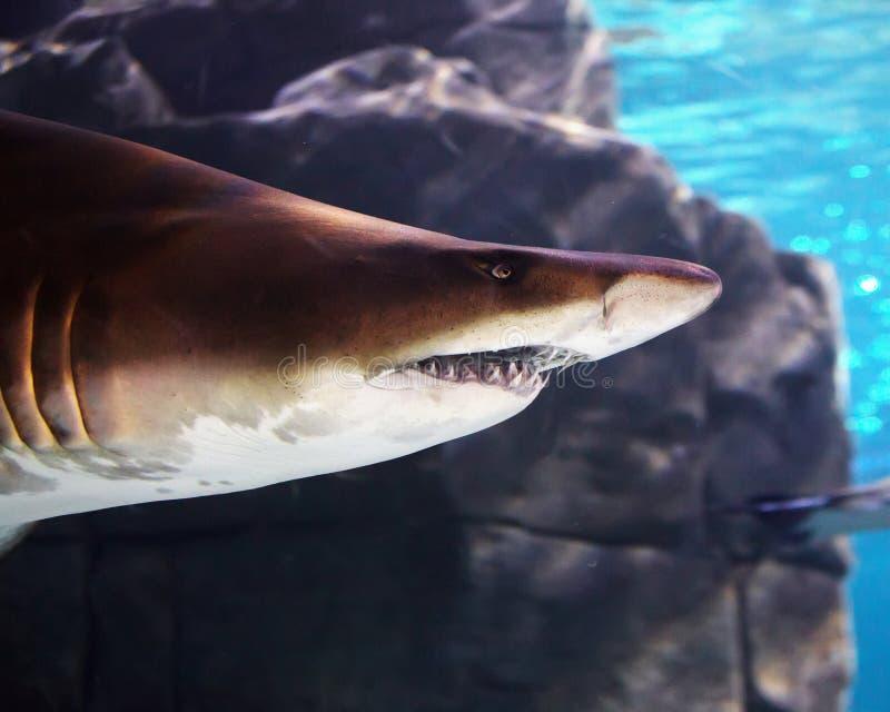 水下的观点的在伊斯坦布尔水族馆的一个伟大的棕色鲨鱼 免版税库存图片