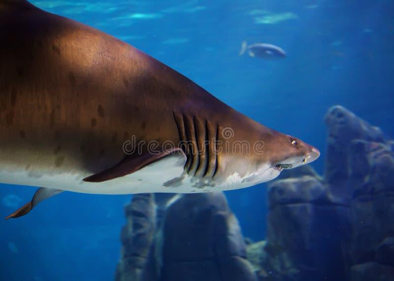 水下的观点的在伊斯坦布尔水族馆的一个伟大的棕色鲨鱼 库存图片