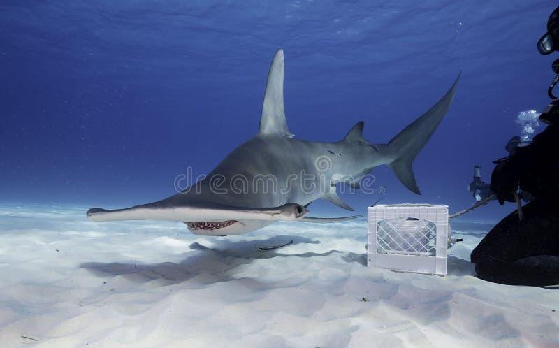 水下的观点的在Bimini的一条伟大的双髻鲨在巴哈马 免版税库存图片