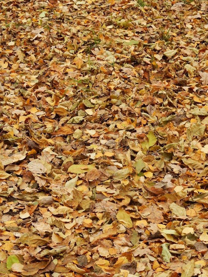 从下落下来的黄色叶子的地毯 库存图片